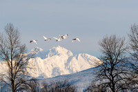 Swans at Shadow Lake and Snow Geese at Fir Is. / 白鳥と白雁